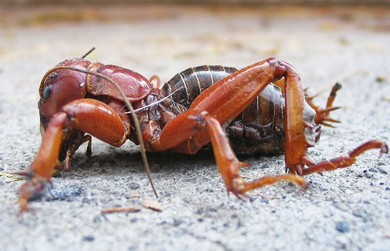 F1-insectos