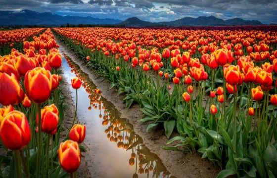 Campos de tulipanes, Holanda. 10 lugares que todo fotógrafo debe visitar.