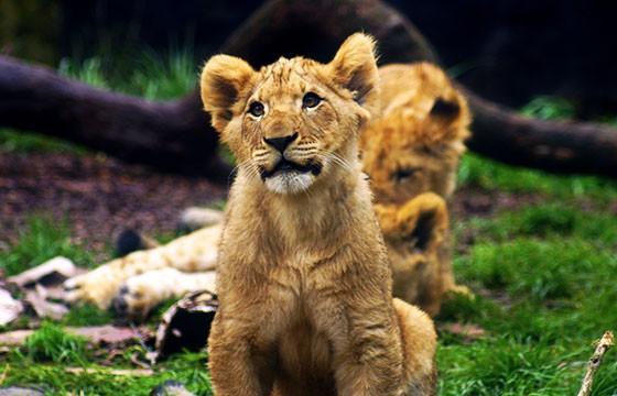 Pequeños leones en Botswana