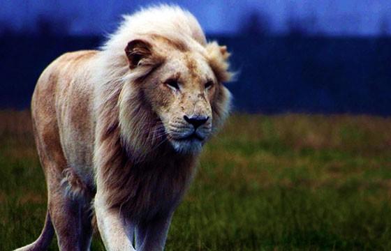 Increíble león en Reino Animal, México