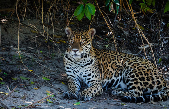 Jaguar in the Pantanal-Bart van Dorp-Flickr
