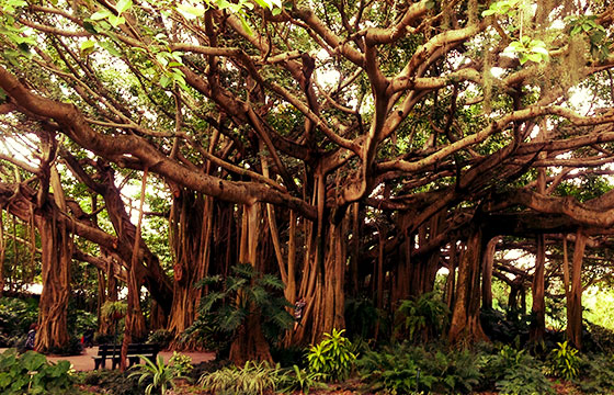 Banyan tree in Cypress Gardens.-August Muench-Flickr