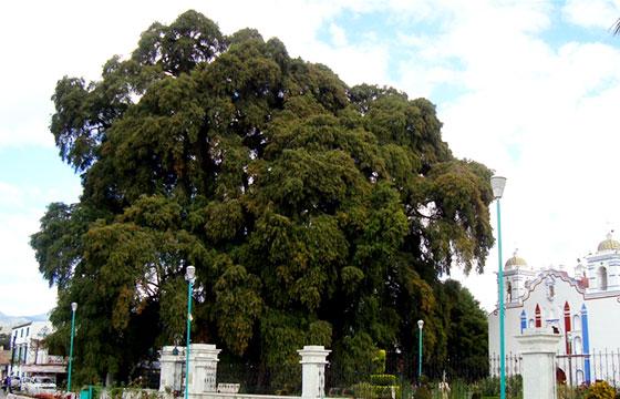Parroquia Santisima Asunción de Maria (El Tule) Estado de Oaxaca,México-Enrique López-Tamayo Biosca-Flickr