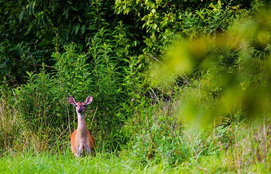 White-tailed deer-Melissa McMasters-Flickr
